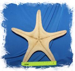 Натуральная сушеная морская звезда
