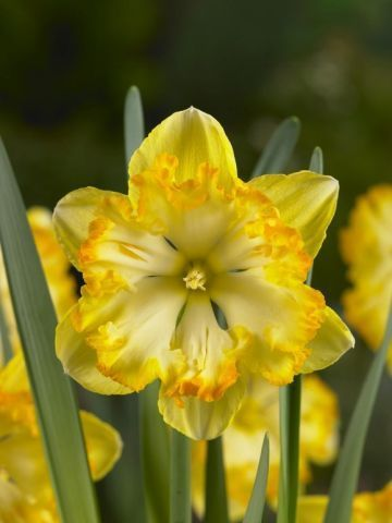 Нарцисс с расщеплённой коронкой Блэйзинг Старлет (5шт)