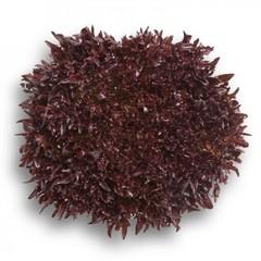 Триплекс семена салата хрустящего с сильно рассеченным листом (Rijk Zwaan / Райк Цваан)