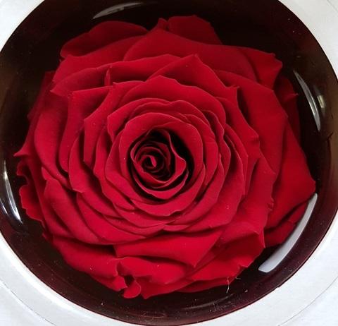 Стабилизированный Бутон Розы Linda Rose Amour (Диаметр 10-12см)