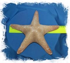 Морская звезда Астеродискус