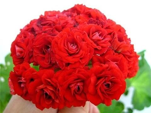 Пеларгония Summer Rose Tina
