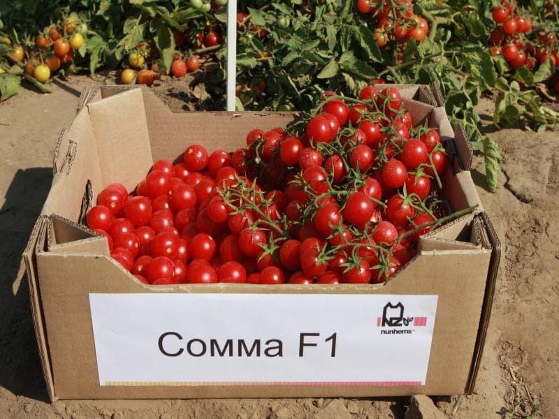 Nunhems Сомма F1 семена томата процессингового (Nunhems / Нюнемс) Сомма_F1-min.jpg