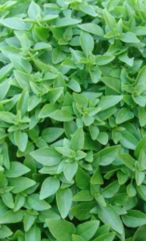 Семена Базилик Гвоздичный аромат овощной, б/п