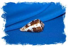 Ракушка Конус альбукерке, Conus albuquerquei