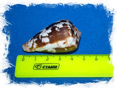 Конус альбукерке, Conus albuquerquei