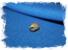 Морская раковина Jujubinus gilberti