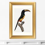 Франсуа Левальян - Beautiful toucans №4, 1806г.
