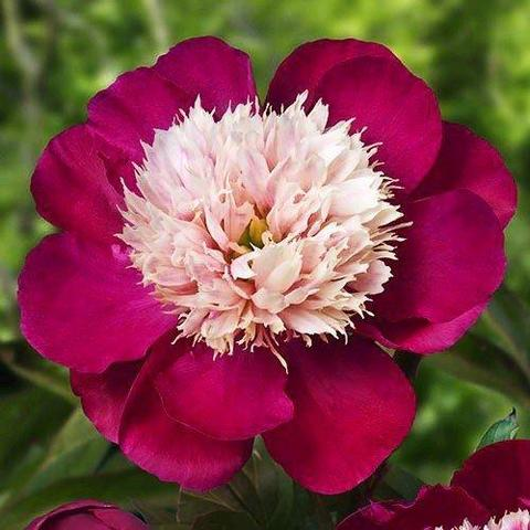 Пион молочноцветковый Вайт Кэп