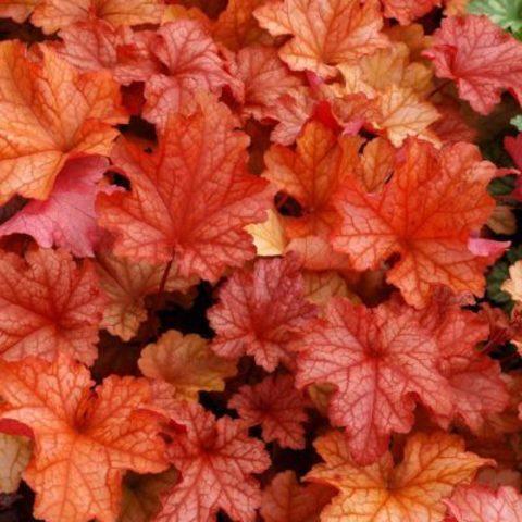 Кораллово-вишневая солнцестойкая гейхера