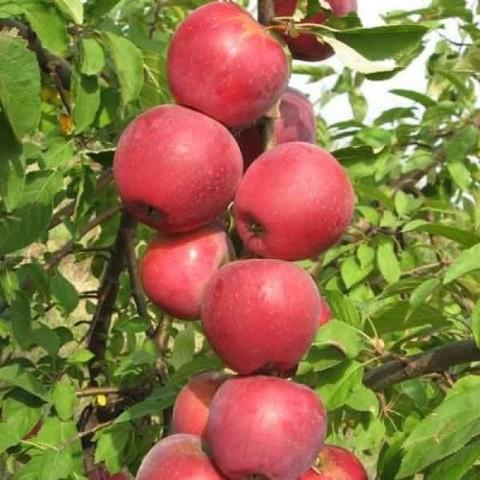 Яблоня колонновидная (подвой 54-118 полукарл.) Пьедестал