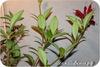 Эсхинантус, Purple Pinata