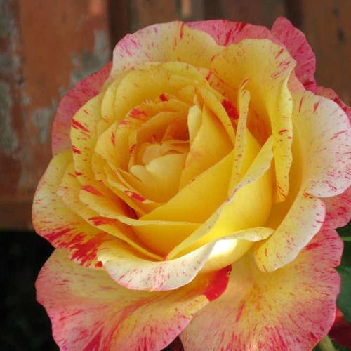 Роза флорибунда Камиль Писсаро