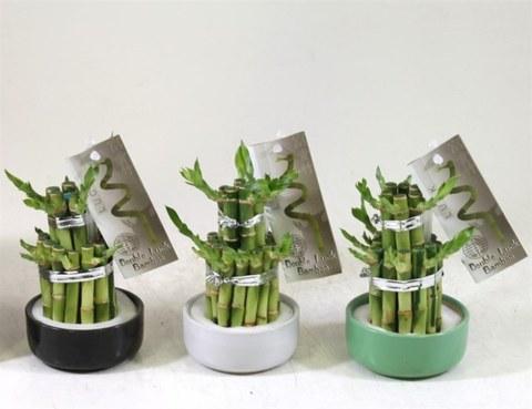 Драцена Сандера (Счастливый бамбук)