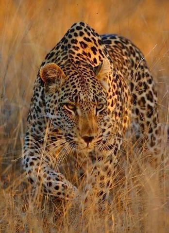 Алмазная Мозаика 40x50 Леопард в траве  (арт. MTCL104 )