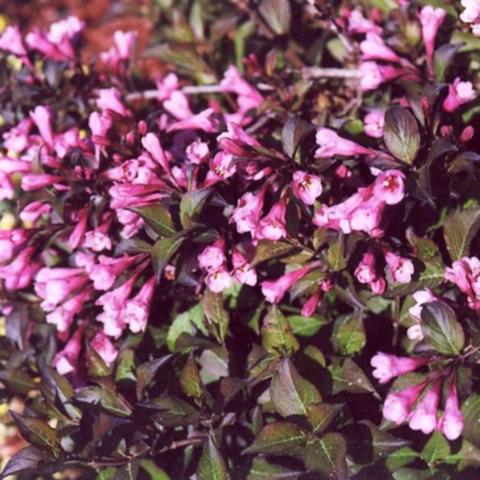 Вейгела цветущая Нана Пурпуреа 100-120