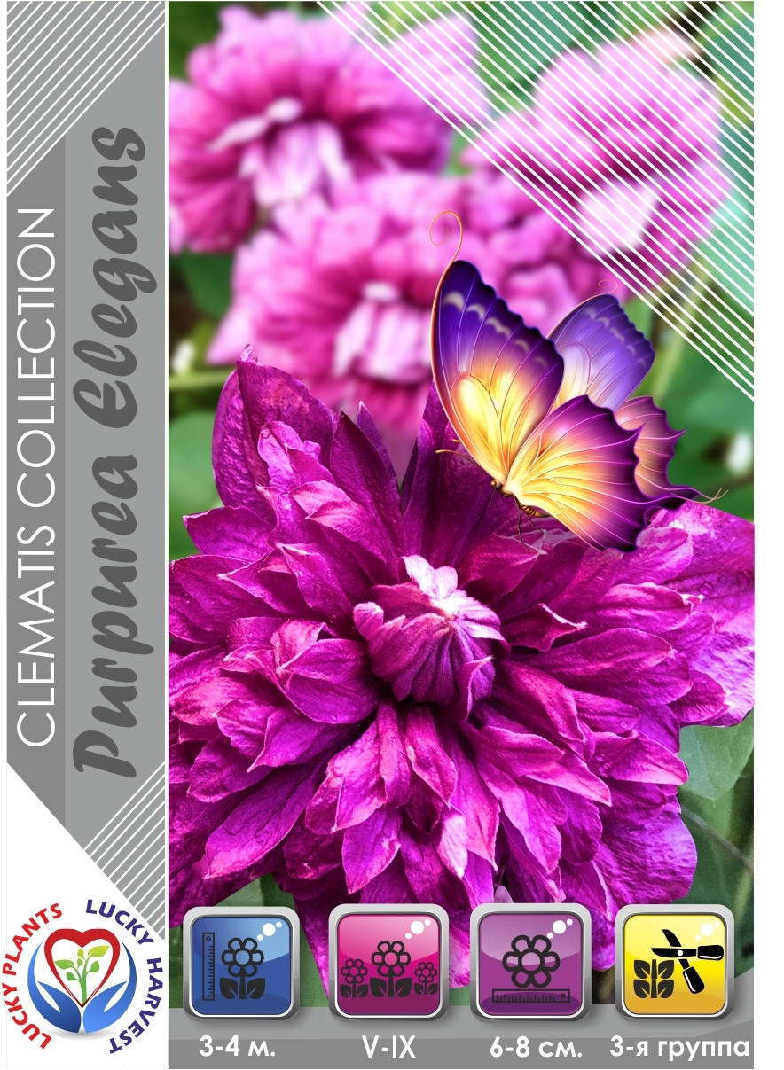 Клематис 'Purpurea Plena Elegans' (Пурпуреа Плена Элеганс) ТМ LUCKY HARVEST