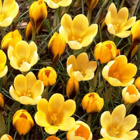 Крокус ботанический ранний Голдилокс (10 шт.в упаковке)_sadguru