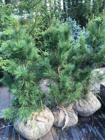 сосна кедровая для живой изгороди в Спб