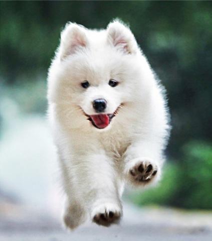 Алмазная Мозаика 20x30 Белый щенок в прыжке
