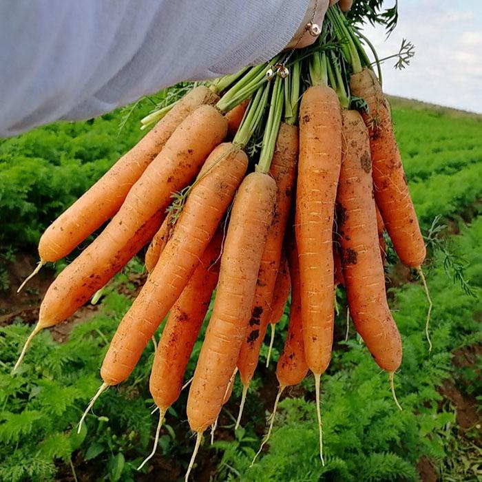 Нантская Карвора F1 семена моркови нантской (Seminis / Семинис) Карвора_3.jpg