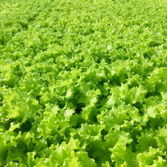 Афицион рз семена салата батавия (Rijk Zwaan / Райк Цваан)