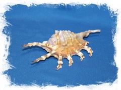 Раковина Lambis scorpio