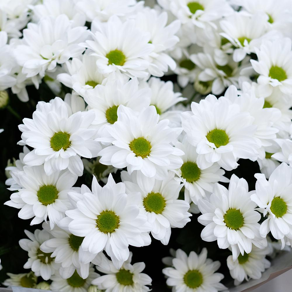 Хризантемы кустовые белые Bacardi от 3шт