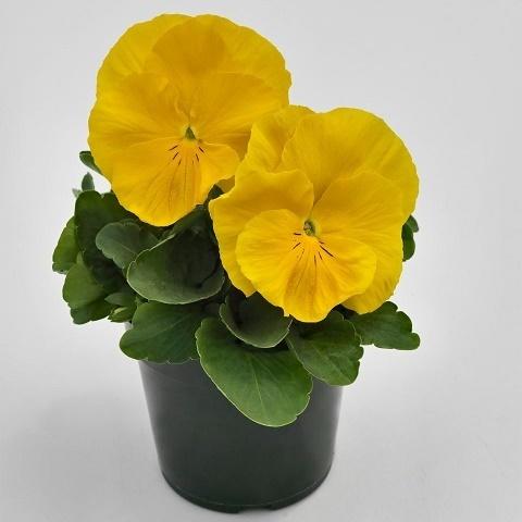 Виола виттрока Inspire DeluXXe F1, yellow