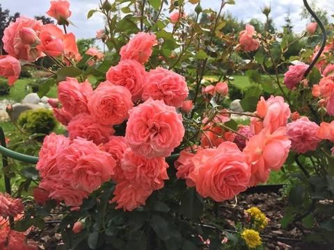 Роза флорибунда Кимоно (в тубе)