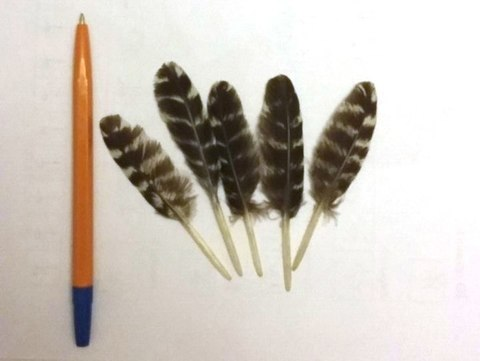 Перо дикого индюка, 8-12 см. упаковка 5 шт
