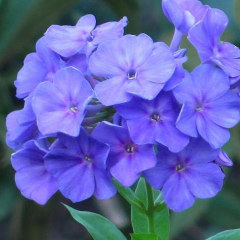 Флокс метельчатый Blue Paradise