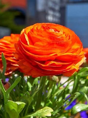 Ранункулюс оранжевый  (10 клубней)