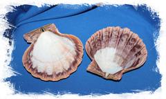 Морская раковина Львиная Лапа, Sea shell Nodipecten nodosus