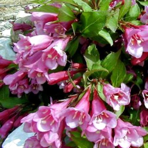 Вейгела цветущая Минует C2 20-40