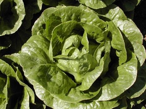 Салат Лиад семена салата айсберг (Hazera / Хазера) Лиад.jpg
