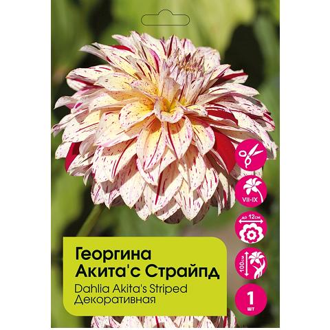Георгина Акита'с Страйпд декоративная 1шт