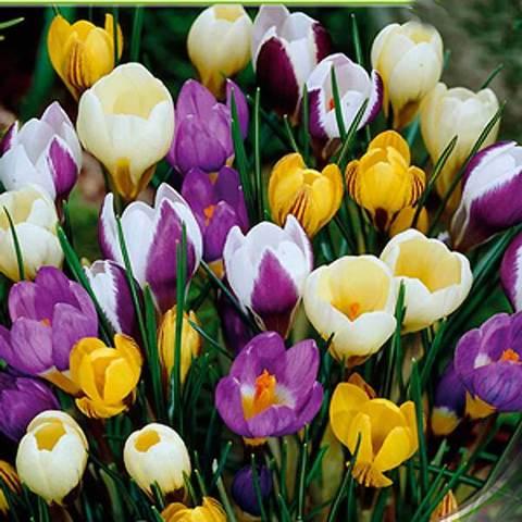 Крокус крупноцветковый Смесь окрасок (10шт)