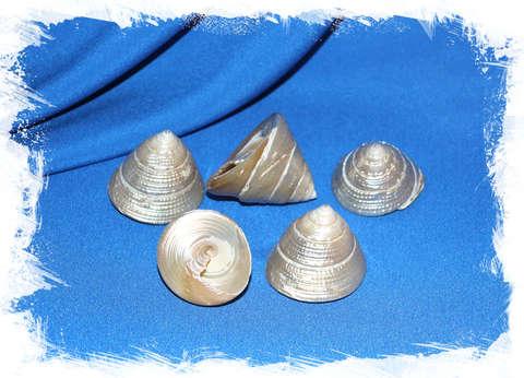 Трохус Макулатус перламутровый уп. 4 - 5 см.