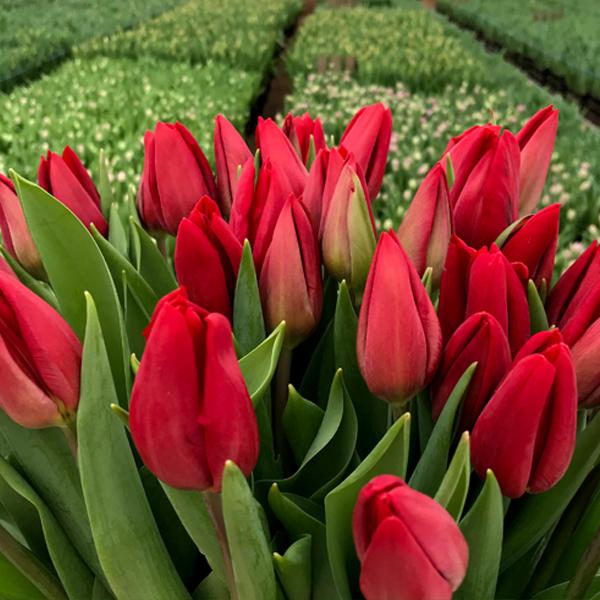 Букет красных тюльпанов на 8 марта