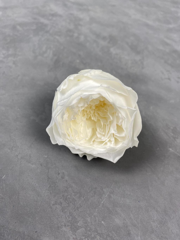 Роза пионовидная белая d=5 см