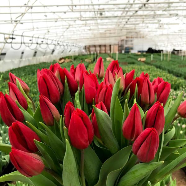 25 красных тюльпанов на 8 марта