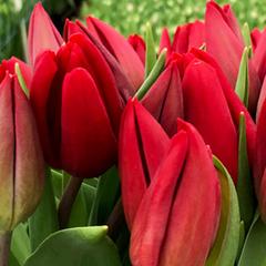 тюльпаны на 8 марта спб