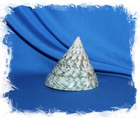 Тектус Пирамис от 6 см.