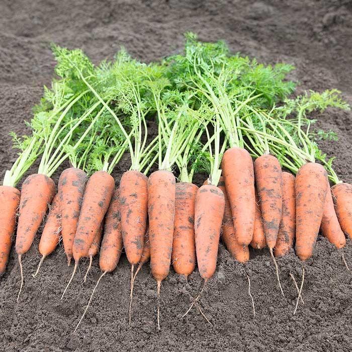 Курода/Шантане Кантербюри F1 семена моркови курода/шантане (Bejo / Бейо) кантербюри_1.jpg