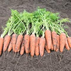 Кантербюри F1 семена моркови курода/шантане (Bejo / Бейо)