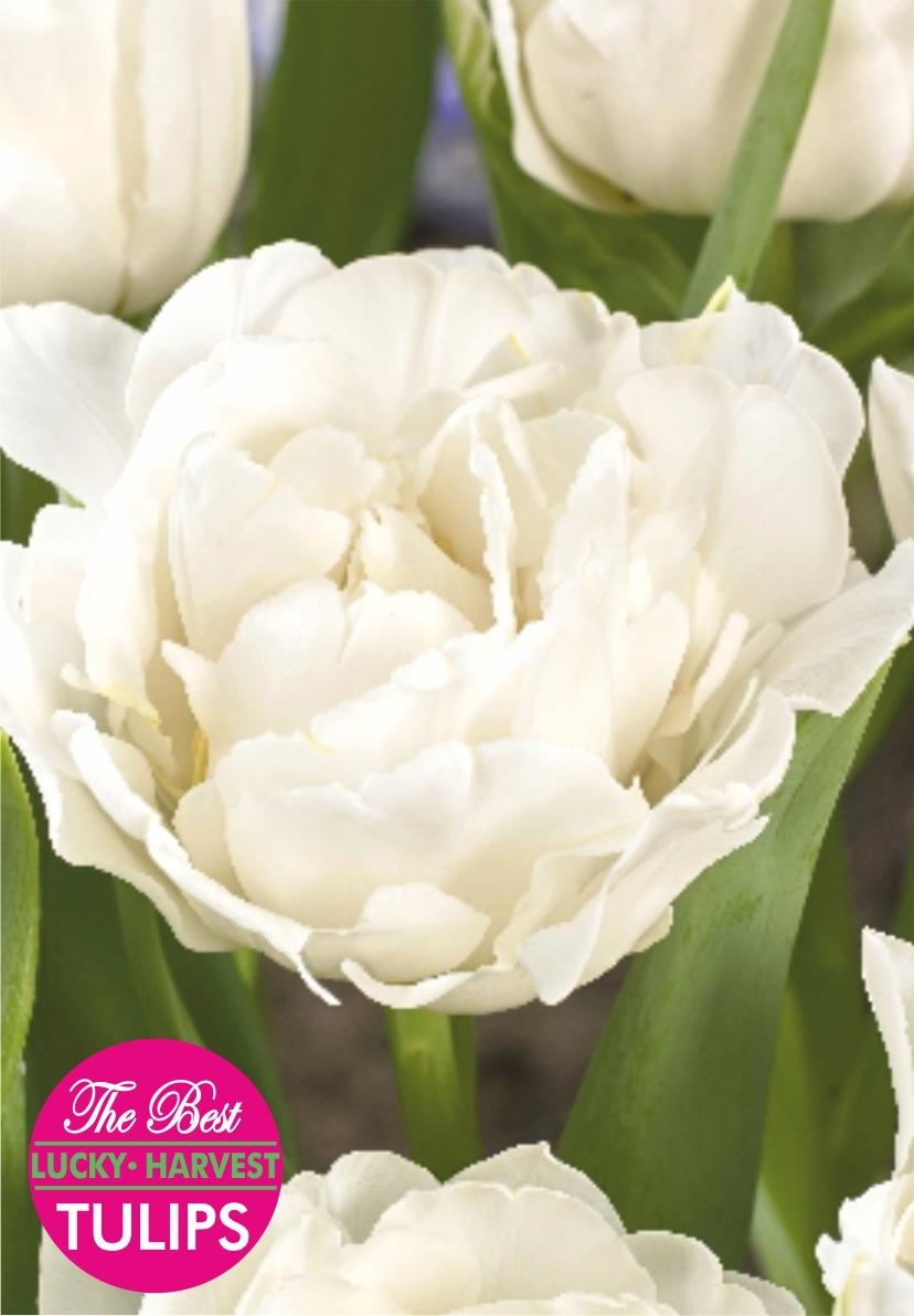 Тюльпан Махровый ранний White Heart  (Уайт Харт) Украина 5 шт