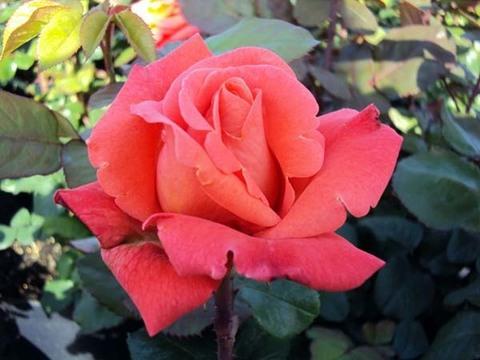 Роза чайно-гибридная Христофор Колумб (в тубе)