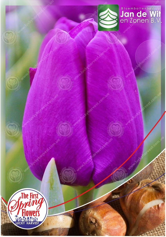 Луковицы Простого  Раннего  Тюльпана