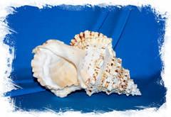 Морская ракушка Бурса бубо